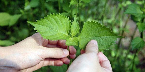 Cách trị mụn từ thiên nhiên với lá tía tô